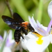 Giant Carpenter Bee - Photo (c) Ryan Tippett, some rights reserved (CC BY-NC)