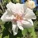 Rosa Variable - Photo (c) quinnever0403, algunos derechos reservados (CC BY-NC)