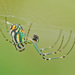 Leucauge venusta - Photo (c) Jerry Oldenettel,  זכויות יוצרים חלקיות (CC BY-NC-SA)