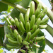 Plantain - Photo (c) Mark Rosenstein, some rights reserved (CC BY-NC-SA)