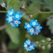 Forget-Me-Nots - Photo (c) fdecomite, some rights reserved (CC BY)