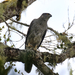 Henst's Goshawk - Photo (c) Robin Gwen Agarwal, some rights reserved (CC BY-NC)