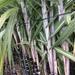 Caña de Azúcar - Photo (c) beingplace, algunos derechos reservados (CC BY-NC)