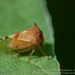 Buffalo Treehoppers - Photo (c) Marcelo Calazans, some rights reserved (CC BY-NC)