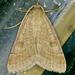 Caenurgia chloropha - Photo (c) Monica Krancevic, algunos derechos reservados (CC BY-NC)