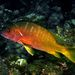 Yellowtail Snapper - Photo (c) Felipe Campos, some rights reserved (CC BY-NC)