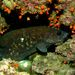 Mottled Soapfish - Photo (c) Felipe Campos, some rights reserved (CC BY-NC)