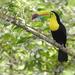 Tucán Pico Canoa - Photo (c) Gera Guzman, algunos derechos reservados (CC BY-NC)