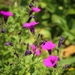 Petunia Violeta - Photo (c) silvanach, algunos derechos reservados (CC BY-NC)