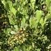 Namaqua Kuni Bush - Photo (c) Dave Richardson, some rights reserved (CC BY-NC)