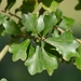 Water Oak - Photo (c) Nicholas Cowey, some rights reserved (CC BY-NC)