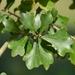 Quercus nigra - Photo (c) Nicholas Cowey, algunos derechos reservados (CC BY-NC)
