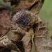 Mastophora carpogaster - Photo (c) Daniela T. Candia-Ramírez, algunos derechos reservados (CC BY-NC)