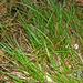 Carex rotundata - Photo (c) c michael hogan, algunos derechos reservados (CC BY-NC-SA)