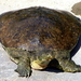 Pallid Spiny Softshell Turtle - Photo (c) Kala Murphy King, some rights reserved (CC BY-NC-ND)