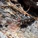 Monochamus galloprovincialis galloprovincialis - Photo (c) Francesco Vitali, algunos derechos reservados (CC BY-NC)