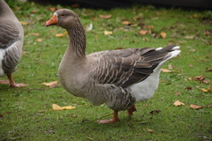 Domestic Greylag Goose - Photo (c) Maxim Shashkov, some rights reserved (CC BY)
