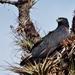 Águila Azor Poma - Photo (c) Arley Vargas, algunos derechos reservados (CC BY-NC-ND)