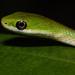 Culebras Verdes Norteñas - Photo (c) kim fleming, algunos derechos reservados (CC BY-NC-SA)