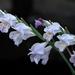 Gladiolus carinatus - Photo (c) Claire Woods, algunos derechos reservados (CC BY-NC-ND)