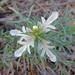 Cut-leaf Germander - Photo (c) ellen hildebrandt, some rights reserved (CC BY-NC)