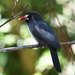 White-fronted Nunbird - Photo (c) Josh Vandermeulen, some rights reserved (CC BY-NC-ND)