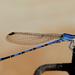 Azulilla de Arroyo Vivaz - Photo (c) Kakalotli, algunos derechos reservados (CC BY-NC)