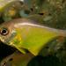 Pempheris affinis - Photo (c) Erik Schlogl, algunos derechos reservados (CC BY-NC)