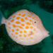Eubalichthys mosaicus - Photo (c) Erik Schlogl, algunos derechos reservados (CC BY-NC)