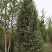 Juniperus oxycedrus - Photo (c) Mario Carrasco, alguns direitos reservados (CC BY-NC)