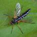 Pandivirilia eximia - Photo (c) Vladimir Bryukhov,  זכויות יוצרים חלקיות (CC BY-NC)