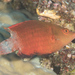 Snooty Wrasse - Photo (c) Mark Rosenstein, some rights reserved (CC BY-NC-SA)