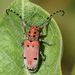 Red-femured Milkweed Borer - Photo (c) Steven Mlodinow, some rights reserved (CC BY-NC)