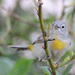 Virginia's Warbler - Photo (c) Jerry Oldenettel, some rights reserved (CC BY-NC-SA)