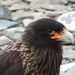Striated Caracara - Photo (c) desertnaturalist, some rights reserved (CC BY)