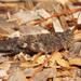 Trimerotropis verruculata - Photo (c) Fyn Kynd, μερικά δικαιώματα διατηρούνται (CC BY-SA)