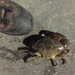 Western Gulf Stone Crab - Photo (c) Jon McIntyre, some rights reserved (CC BY-NC)