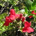 Island Bush Snapdragon - Photo (c) Kerry Woods, some rights reserved (CC BY-NC-ND)