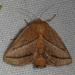 Nason's Slug Moth - Photo (c) Judy Gallagher, some rights reserved (CC BY-NC)
