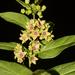 Vincetoxicum rotundifolium - Photo (c) S.MORE,  זכויות יוצרים חלקיות (CC BY-NC)