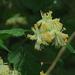 Neviusia cliftonii - Photo (c) John Rusk,  זכויות יוצרים חלקיות (CC BY-NC-SA)