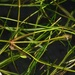 Small Pondweed - Photo (c) Biopix, some rights reserved (CC BY-NC)