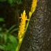 Zingiber neesanum - Photo (c) S.MORE,  זכויות יוצרים חלקיות (CC BY-NC)