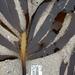 Pterygophora californica - Photo (c) Ken-ichi Ueda, algunos derechos reservados (CC BY)