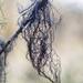 Sulcaria spiralifera - Photo (c) Ken-ichi Ueda, algunos derechos reservados (CC BY)