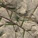 Ischaemum triticeum - Photo (c) poaceae, osa oikeuksista pidätetään (CC BY-NC)