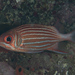 Crown Squirrelfish - Photo (c) Mark Rosenstein, some rights reserved (CC BY-NC-SA)