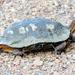 Tortuga de Monte Pintada Occidental - Photo (c) Francisco Farriols Sarabia, algunos derechos reservados (CC BY)