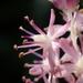 Barnardia japonica - Photo (c) 葉子, algunos derechos reservados (CC BY-NC-ND)
