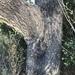 Eucalyptus siderophloia - Photo (c) Greg Tasney, osa oikeuksista pidätetään (CC BY-SA)